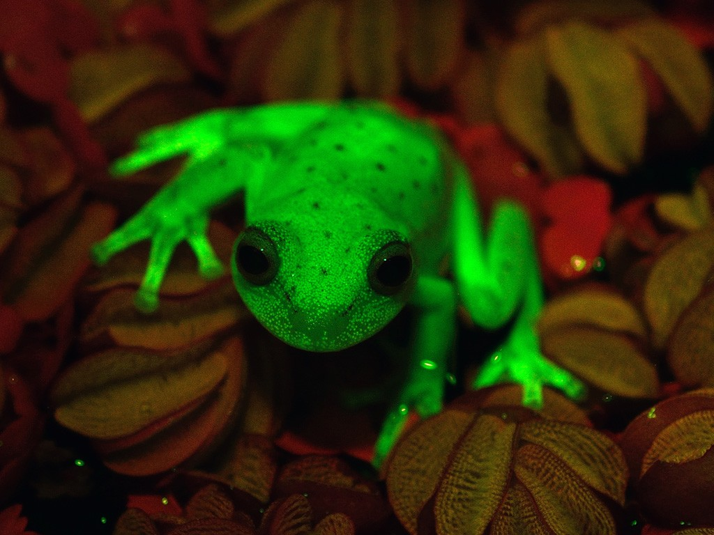 Handout photo relased by CONICET and MACN (Museo Argentino de Ciencias Naturales) researchers Carlos Taboada and Julian Faivovich on March 16, 2017 in Buenos Aires of a fluorescent polka-dot tree frog (Hypsiboas punctatus) that lives in South America. Argentine and Brazilian scientists discovered the first case of natural fluorescence in amphibians in the tree-frog. / AFP PHOTO / MACN-CONICET / Taboada FAIVOVICH